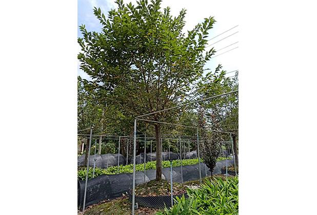 成都樱花树销售种植成功案例
