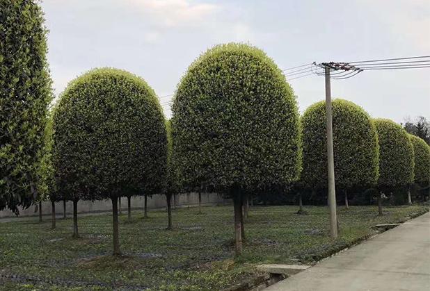 成都桂花批发种植成功案例