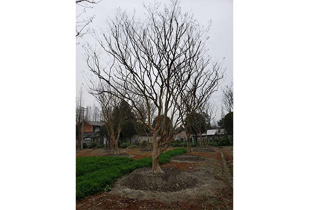 揭秘四川紫薇树移栽修冠的原因