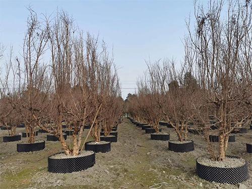成都紫薇树苗木种植基地
