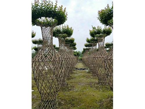 锦艺苗木种植基地