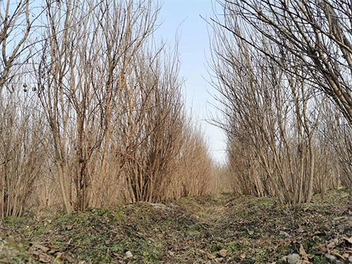 成都桂花树苗木种植基地