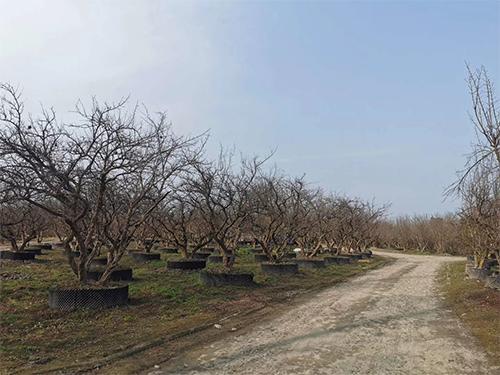 成都樱花树苗木种植基地
