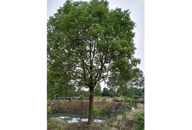 运输成都香樟树如何降低损毁率?锦艺苗木告诉你