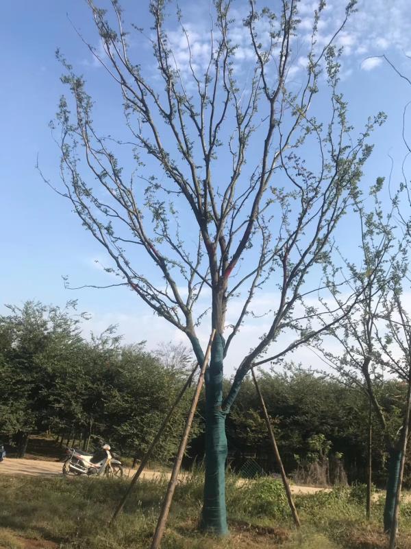 温江朴树种植基地