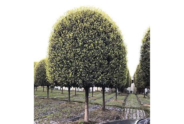 移栽之后的成都桂花树不发芽是怎么回事?