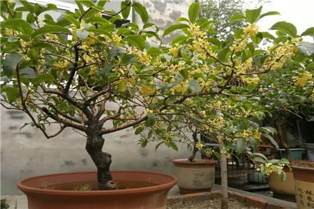 关于桂花品种以及种植桂花需要注意些什么呢?锦艺苗木带您走入桂花的世界。