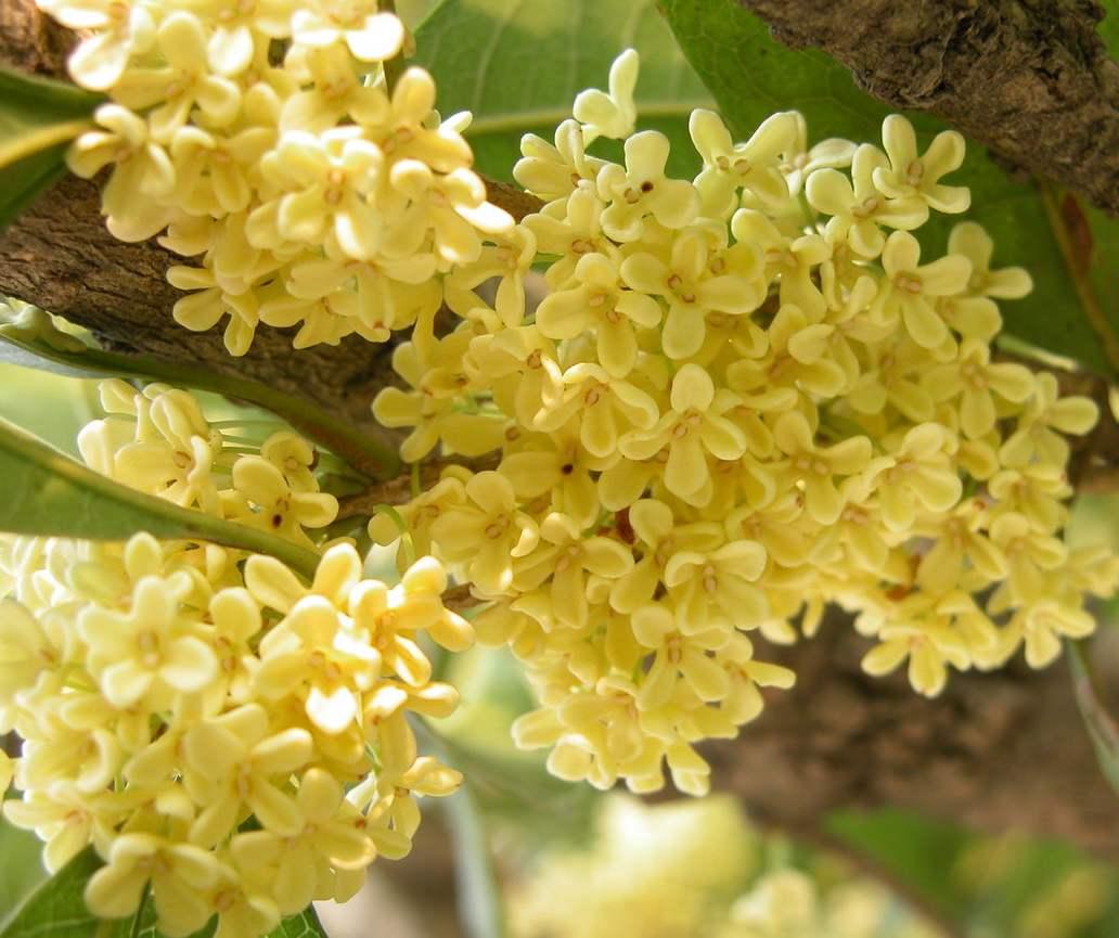 关于桂花品种以及种植桂花需要注意些什么呢?锦艺苗木带您走入桂花的世界