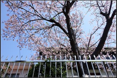 成都樱花树怎么栽容易成活?樱花栽植的注意事项