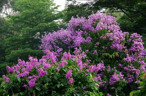 成都紫薇花怎么养?注意这几点,树形优美,夏秋繁花满树