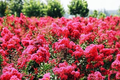 四川紫薇在园林景观中的五种应用方式