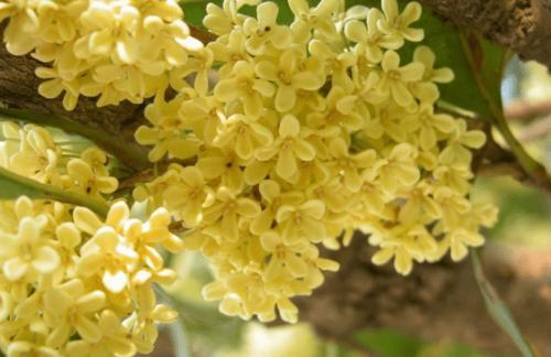 常见成都桂花的品种分类,哪个品种非常名贵?