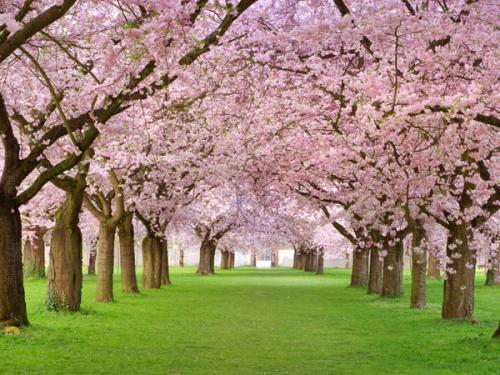 樱花季到,超好看的成都樱花品种,你认识几个?