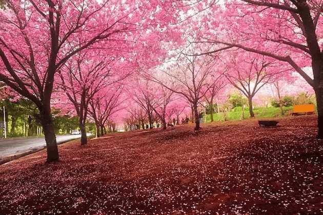 锦艺苗木为你介绍四川樱花的特点以及应用价值
