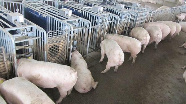 一台四川电子饲喂站能喂多少头母猪?