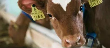 犊牛自动饲喂机的优点