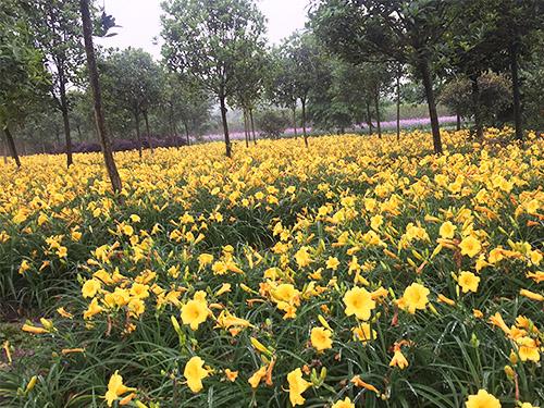 四川宿根花卉销售种植成功案例