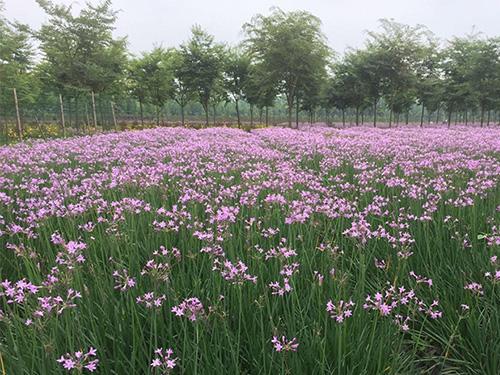 四川紫娇花种植成功案例