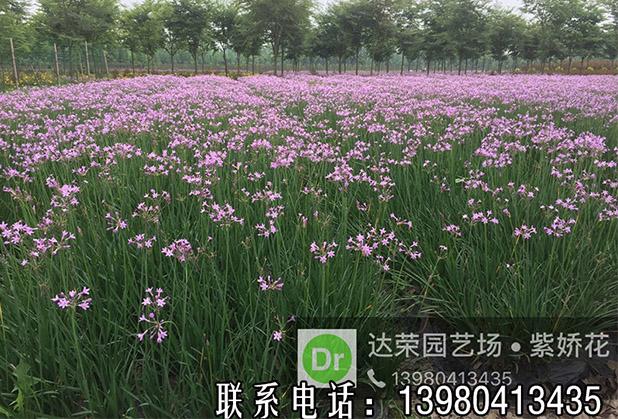 干货!紫娇花要怎样养,才能开出美丽的花呢?