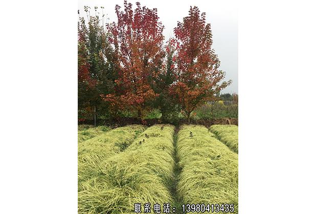 怎样选择品质优良的苗木品种?金叶苔草园艺场小编告诉你