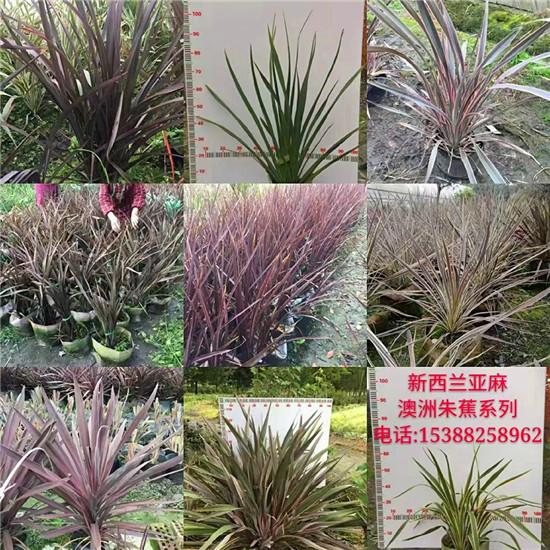 四川金叶苔草种植厂家-产品案例