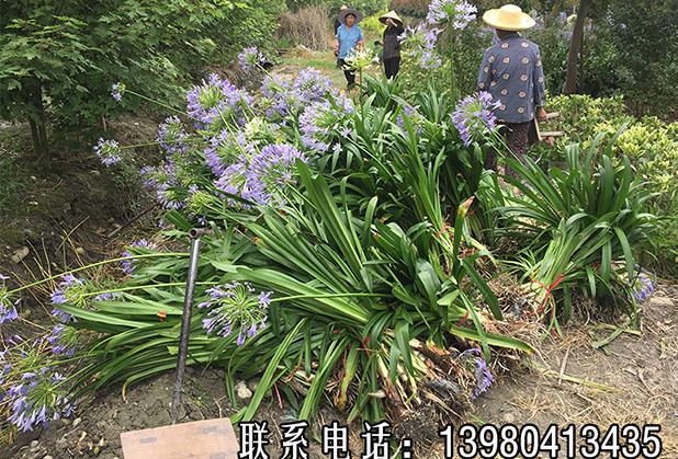 注意哦!这花名叫百子莲,经常被误认为君子兰,开出大串蓝色花,真漂亮