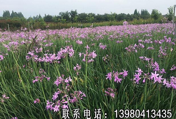 没有薰衣草,紫娇花照样紫得耀眼的庭院!