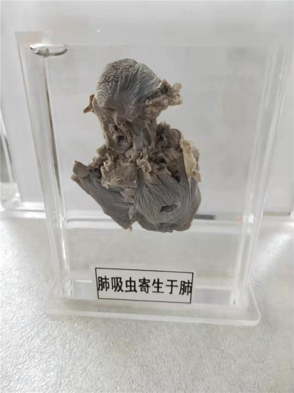 寄生蟲大體標本