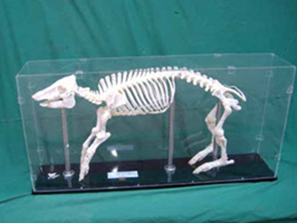 動物骨骼標本