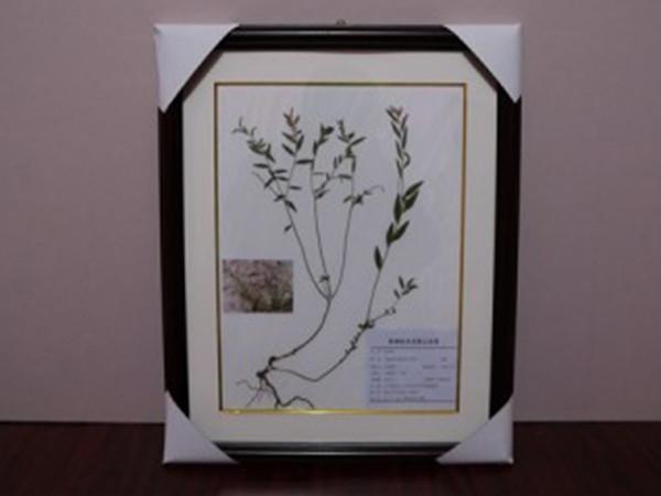 黑龍江植物標本
