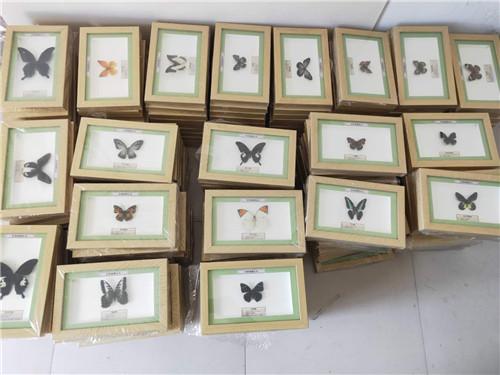 黑龍江蝴蝶標本制作