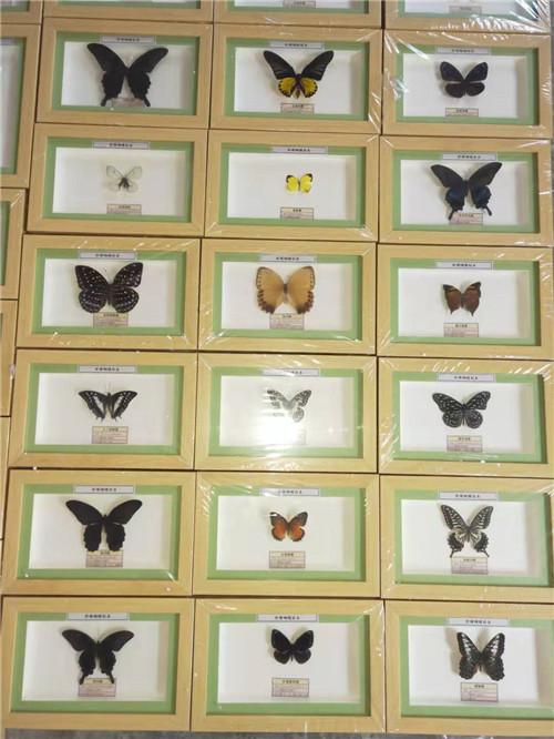 黑龍江蝴蝶標本價格