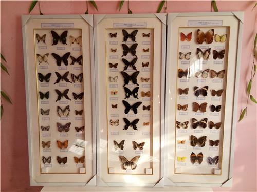 蝴蝶分類標本