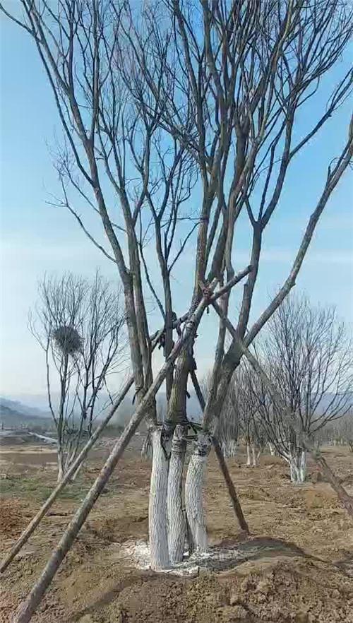 河南五角枫种植