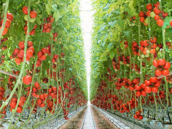 .大番茄种植基地落地北京!